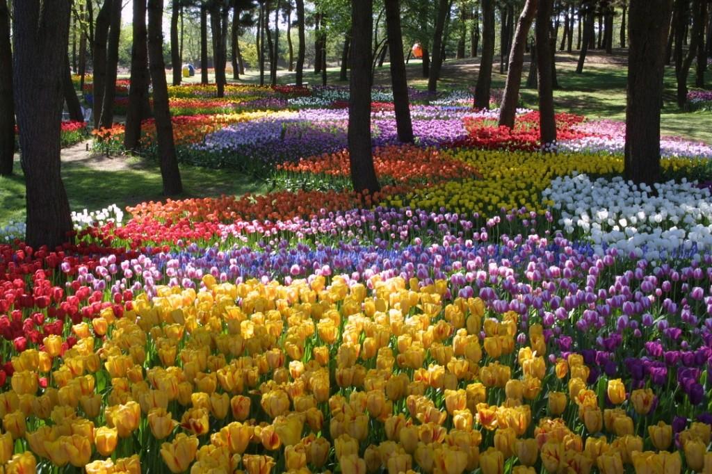 Hitachi_tulip1