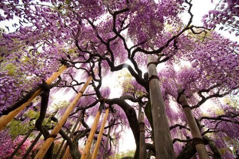 ashikaga_wisteria2