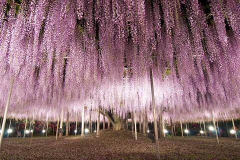 ashikaga_wisteria3