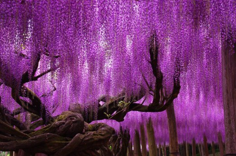 ashikaga_wisteria5