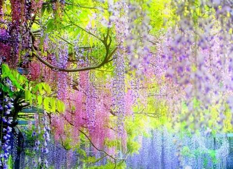 kawachi-fuji-garden4